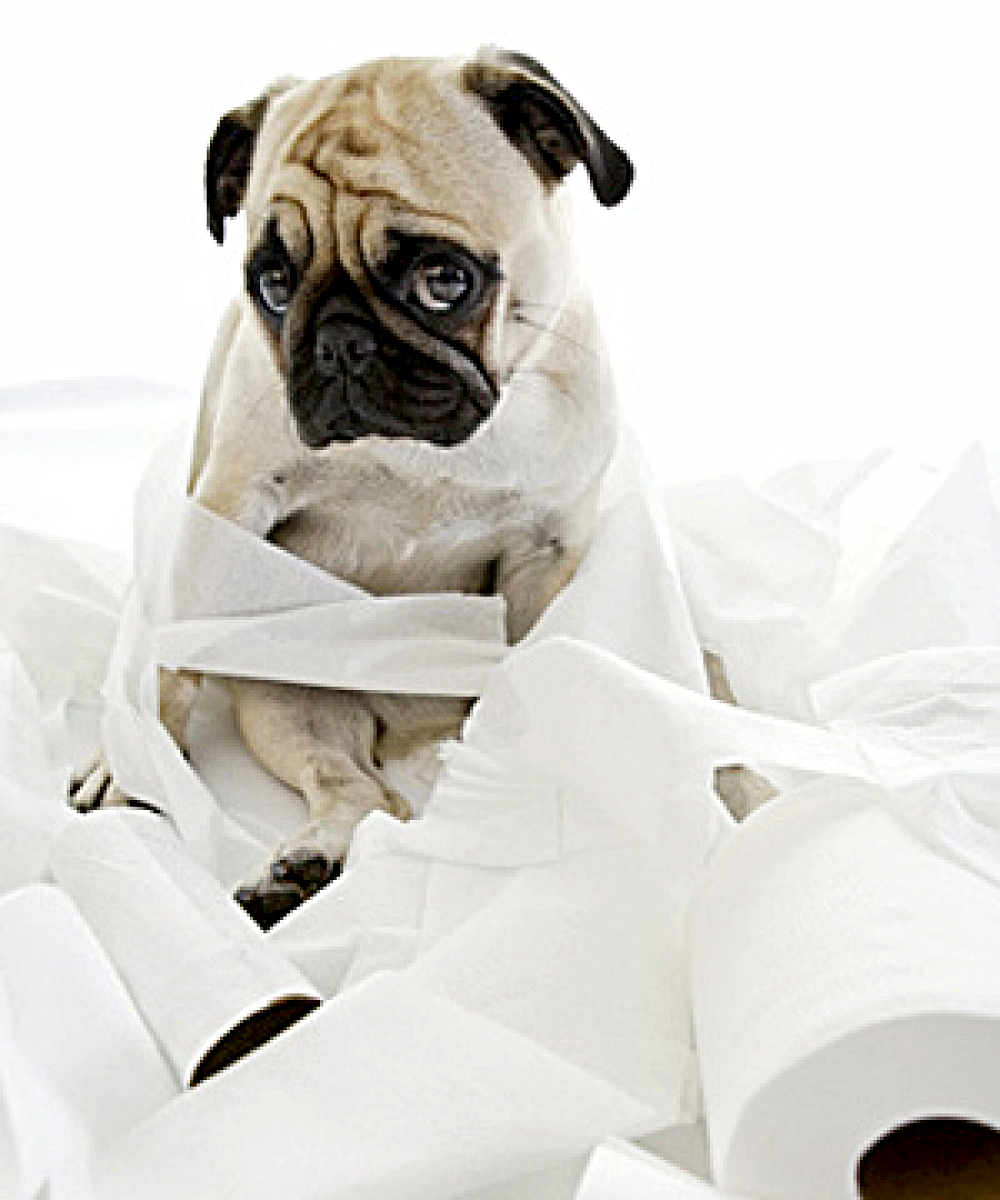 12 tips para que tu Pug aprenda a ir al baño