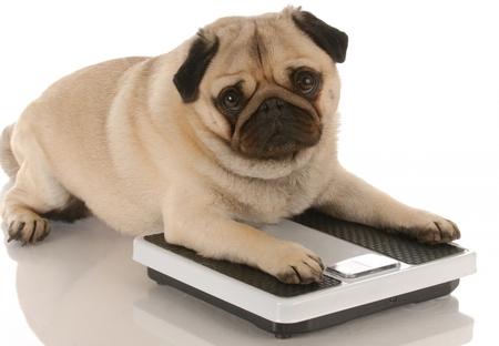Pequeños trucos para engordar a mi Pug
