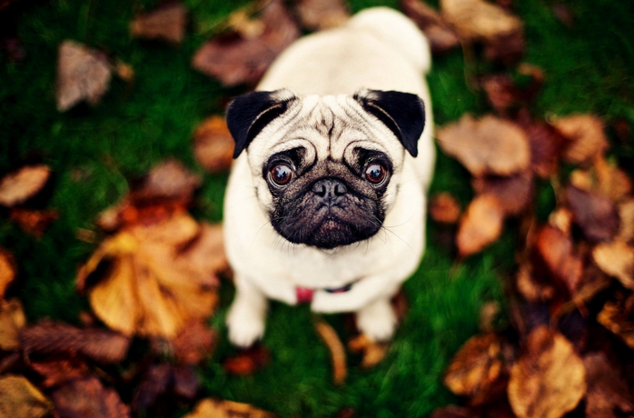 All Wallpapers Pug Dog Hd Wallpapers: ¿Quisieras Tener Un Pug? Considera Estos 5 Factores