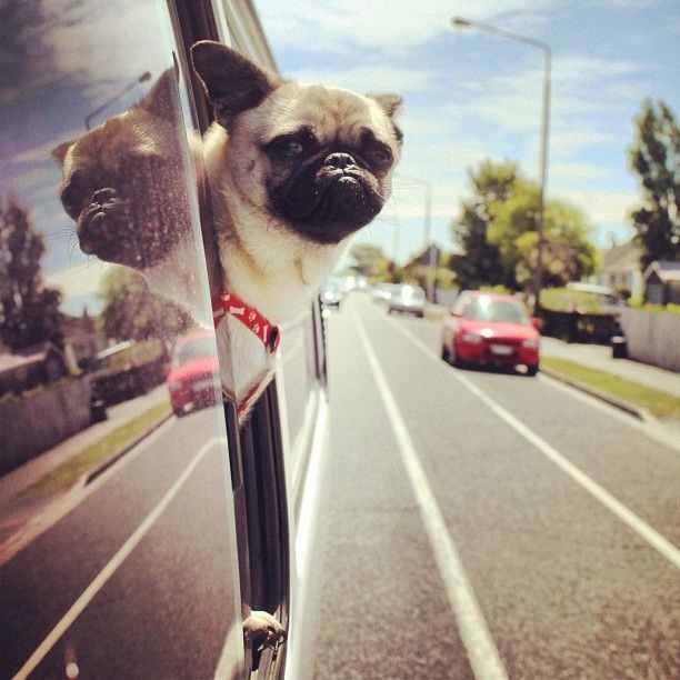 pug-driving-car-window