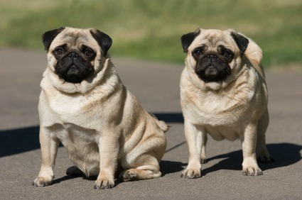 two-pug-dogs-000006125469