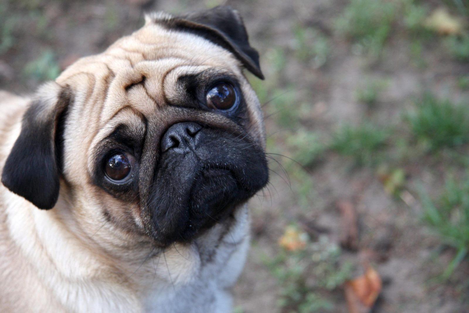 Los perros pug