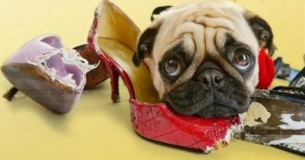 pug muerde zapatos
